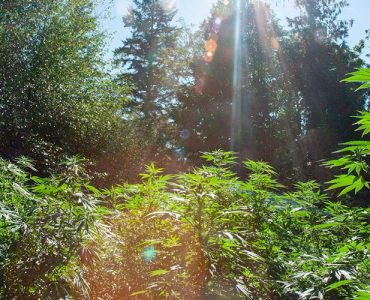 Marihuana al aire libre