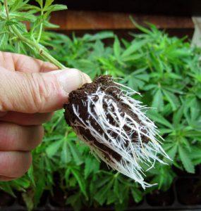 ¿Es posible trasladar enseguida los clones arraigados a la floración?