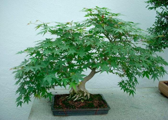 Creación de la planta madre