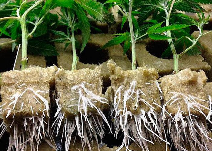 Сlonación de las plantas florecientes