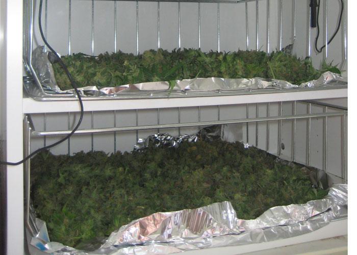 Fermentación del cannabis