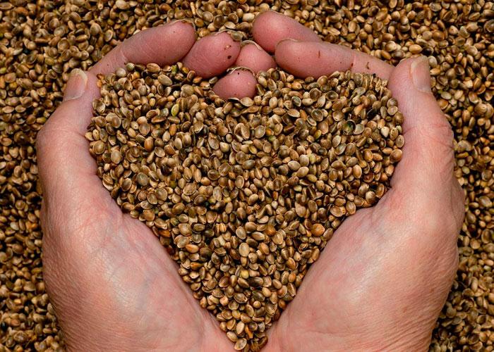 Bases del almacenamiento de las semillas de cannabis