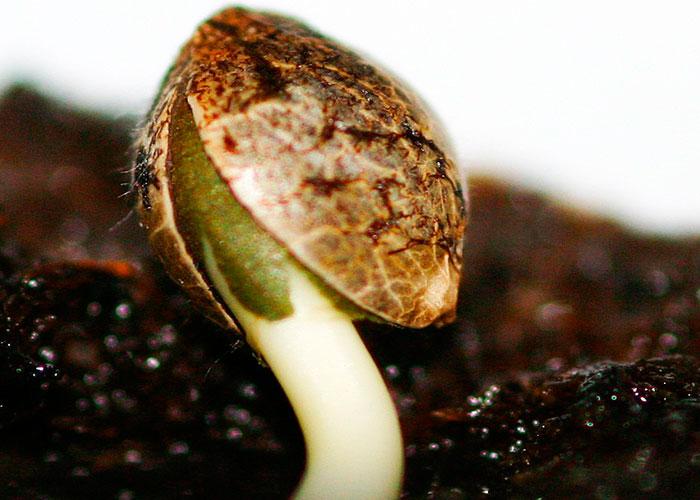 Germinación de las semillas de cáñamo
