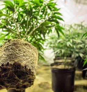 ¿Qué es «el aprieto de las raíces»?