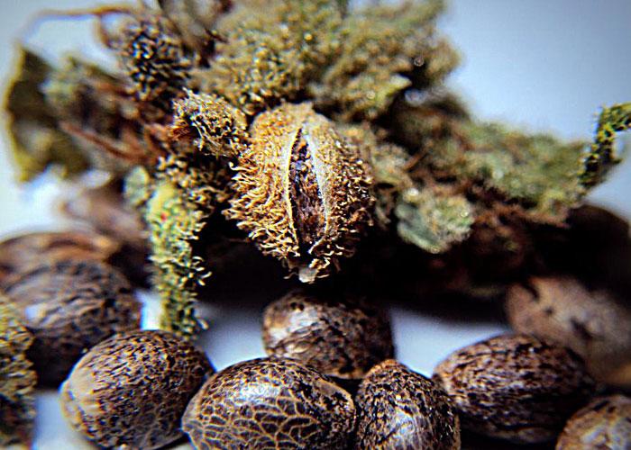 Preparación antes de la siembra de las semillas de cannabis