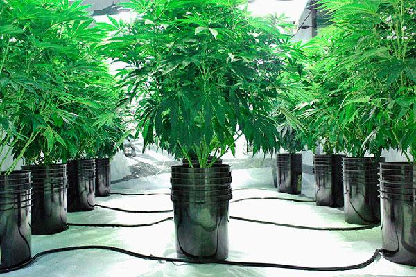Soluciones en la hidroponía con la marihuana y su acidez