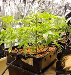 Metodología de cultivo de agua profunda – el cultivo de marihuana