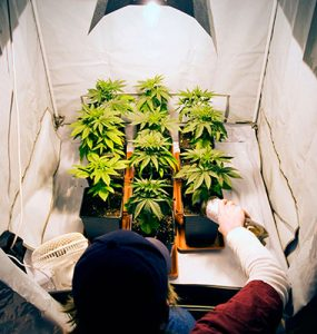 Cultivo de cannabis en el interior (indoor)
