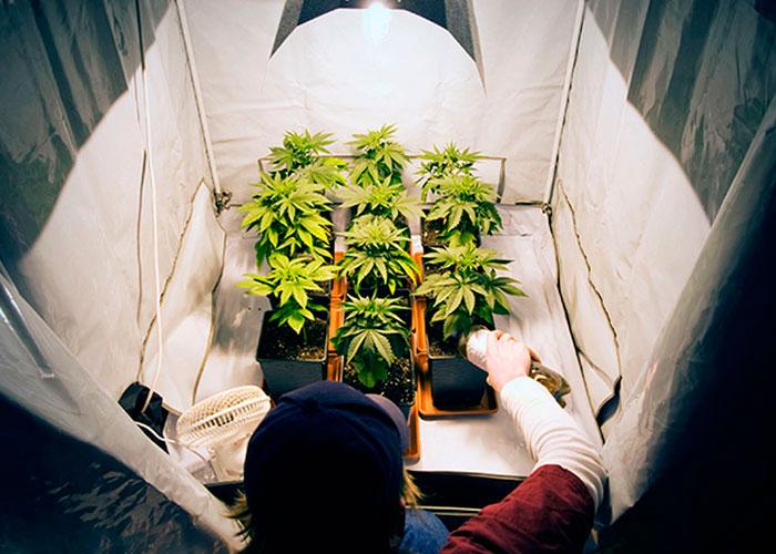 Cultivo de cannabis en el interior (indoor)
