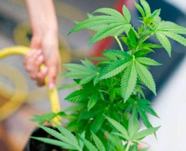 Lavamos el cannabis: cómo y cuando hacerlo correcto