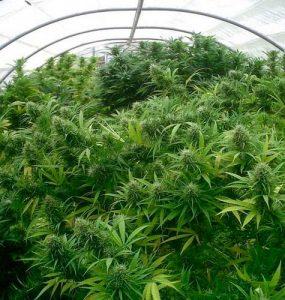 Cultivo de cannabis – el período de crecimiento o la vegetación