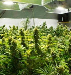 Creación del espacio para el cultivo de cannabis